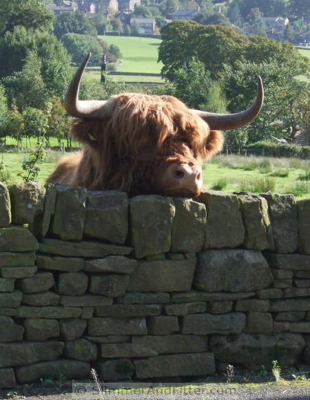 Highland cow, Oxenhope