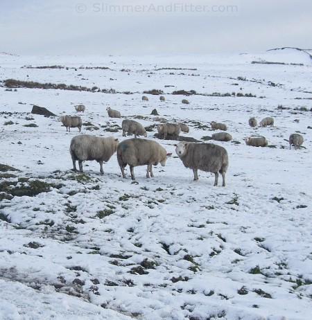 Sheep on Shackleton Moor