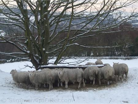 Sheep eating in the snow