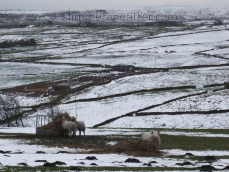 Sheep, winter feed