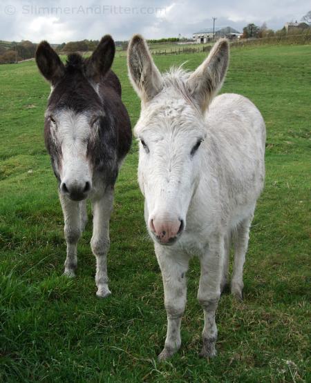 Two friendly donkeys