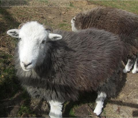 Curious Herdwick sheep