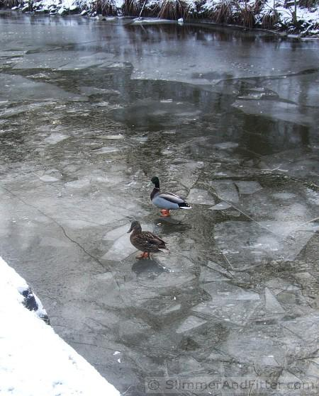 Ducks on frozen Rochdale canal