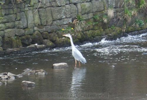Local heron on the prowl behind Innovation, Hebden Bridge
