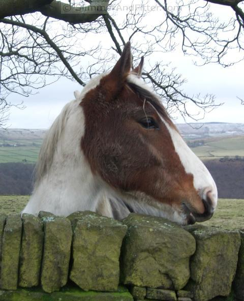 Horse behind a dry stone wall